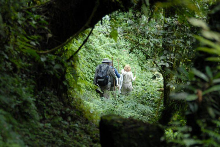Gorilla trekking through the forests of the Volcanoes National Park in Rwanda