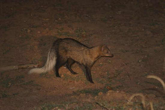 A White-tailed Mongoose is spotlighted at a night game drive