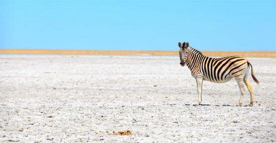 Ein Zebra vor blauem Himmel steht in der weißen Makgadikgadi-Salzpfanne in Botswana