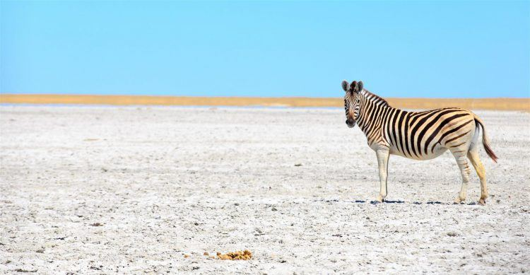 A zebra roaming the isolated Makgadikgadi Pans