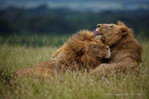 Une des photos en safari de deux lion capturés dans la nature après une longue attente