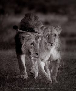 Photo en noir et blanc de deux lions marchant en direction de l'objectif