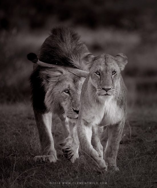 A black and white image of two lions walking towards the camera