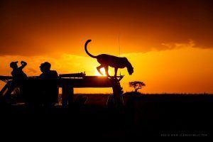 Léopard pris en photo en safari au soleil couchant