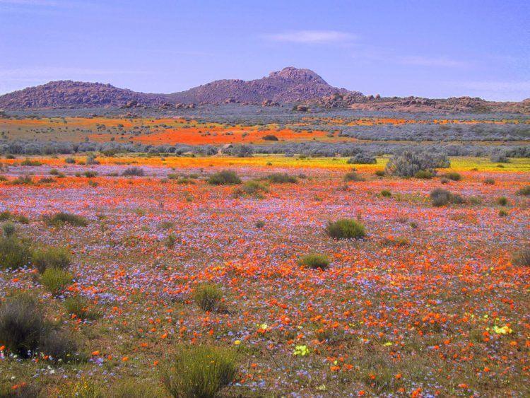 Champs de fleurs colorées lors de la floraison dans le Namaqualand en Afrique du Sud.