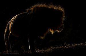 Photo sous-exposée d'un lion de nuit