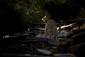 Léopard se tenant au milieu des rochers, saisi à la lumière naturelle