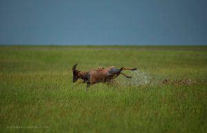 Guépard mettant à terre une antilope dans les hautes herbes