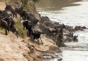 Gnous tentant de traverser la rivière Mara lors de la Grande Migration