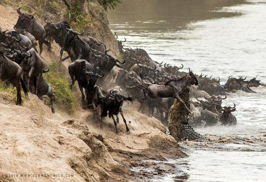Wildebeest trying to get across the river likely on their Great Migration