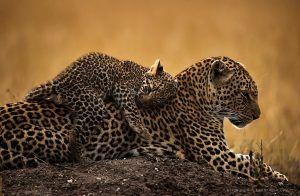 Bébé léopard étendu sur le dos de sa mère