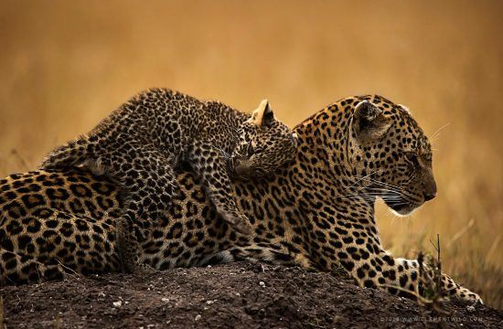 A leopard cub lying on its mothers back