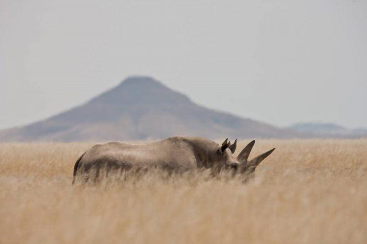 Rhinocéros noir dans les plaines lunaires et deserts de Namibie.