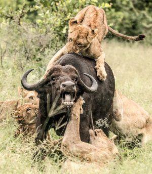 Scène de chasse d'un lion et d'un buffle en Afrique
