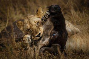 Un león deborando a su presa