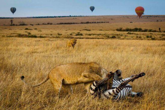 Lion chassant et dévorant un zèbre dans la plaine du Seregenti en Tanzanie