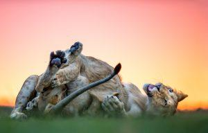 África en imágenes: un grupo de leones jugando sobre la hierba