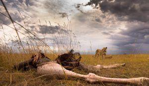 África en imágenes: restos mortales de un animal junto a un león