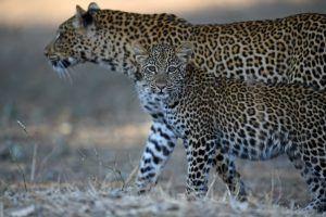 África en imágenes: Una pareja de bellos leopardos