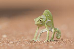 África en imágenes: un gracioso camaleón sobre la arena