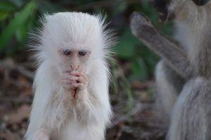 África en imágenes: un curioso primate albino