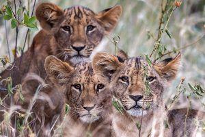 África en imágenes: familia de leones