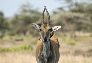 África en imágenes: la penetrante mirada de un ciervo