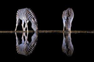 África en imágenes: dos cebras reflejadas en el agua de noche