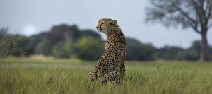 Un hermoso leopardo en la sabana