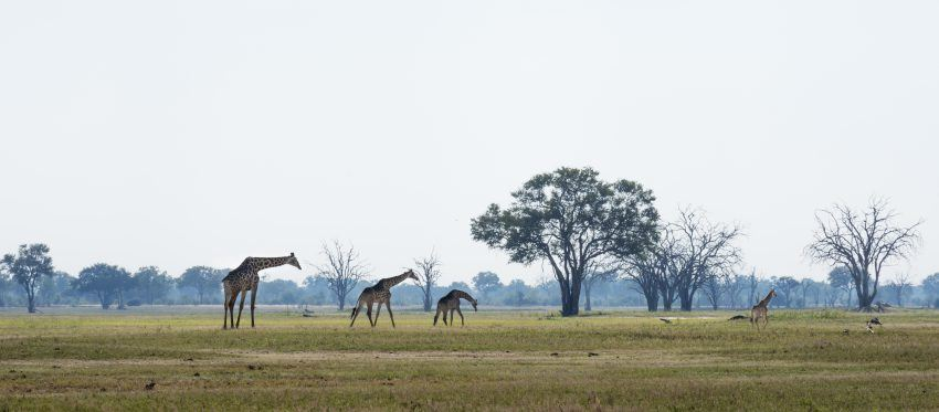 Grasende Giraffen