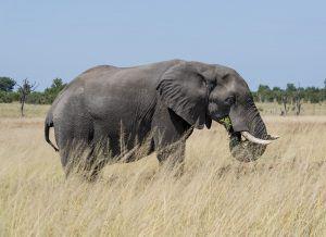 Elefante na savana