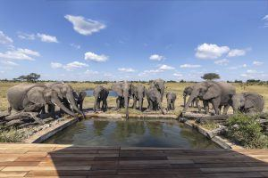 A herd of elephants drinking from a pool at African Bush Camps