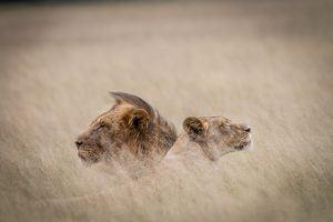 África en imágenes: una pareja de leones fundiéndose con la sabana