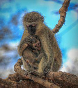 Una madre y su hijo, de la especie de primates cercopitecos verdes.