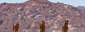 namib-desert-horse-in-front-of-mountain-namibia