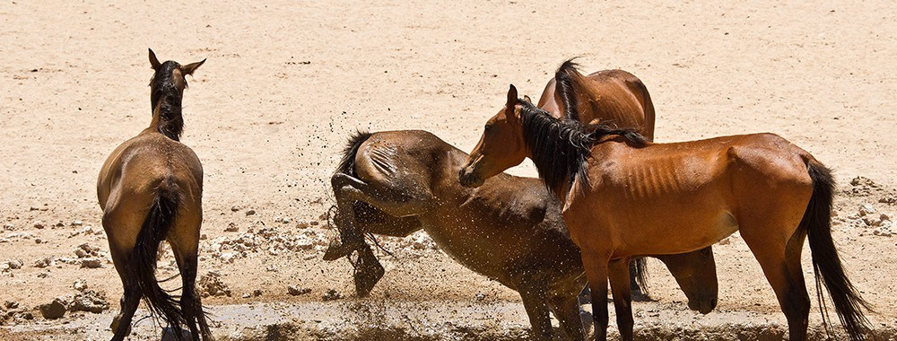 The Fascinating Feral Horses of the Namib Desert | Rhino