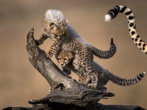 África en imágenes: Una pareja de pequeños guepardos