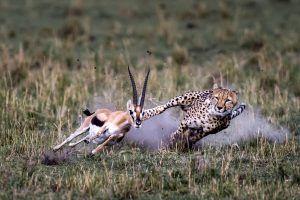 África en imágenes: Un guepardo persiguiendo a su presa