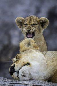 África en imágenes: Una cría de león rugiendo junto a su madre
