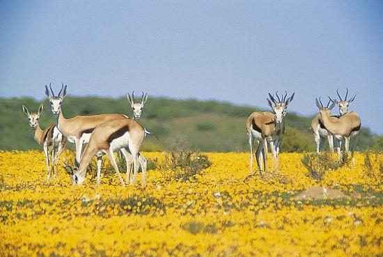 Cabras-de-leque em gramado vibrante perto de Bushmans Kloof Koro Lodge, África do Sul