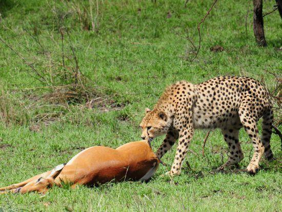Antílopes africanos | Impala é arrastado por chita em uma planície gramínea