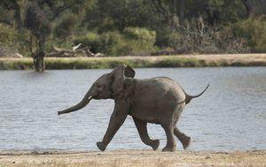 Un cría de elefante paseando