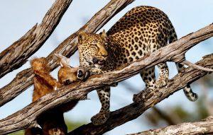 Un leopardo devorando su presa en lo alto de un árbol en África