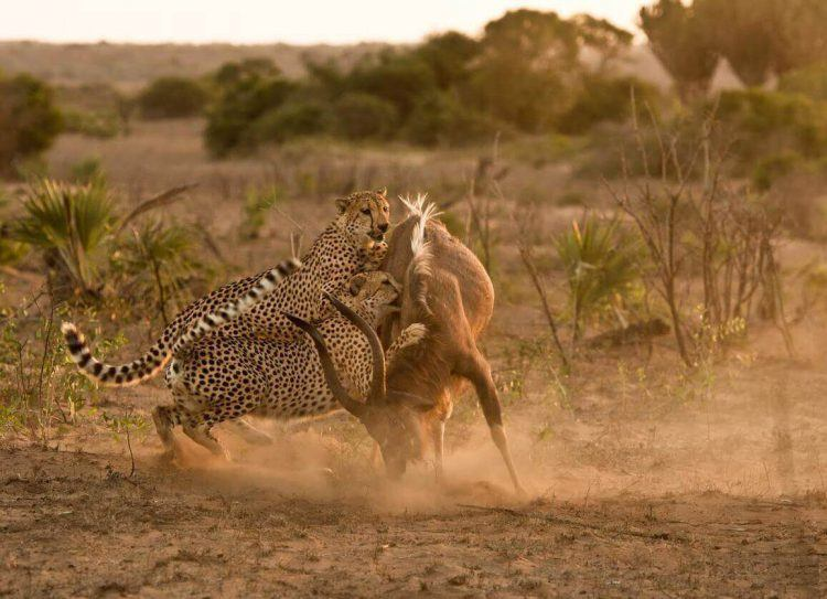 Guépard chassant une antilope dans la savane africaine