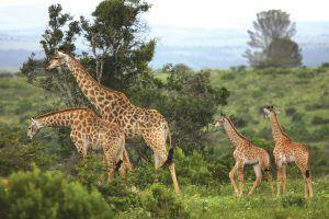 Una familia de jirafas