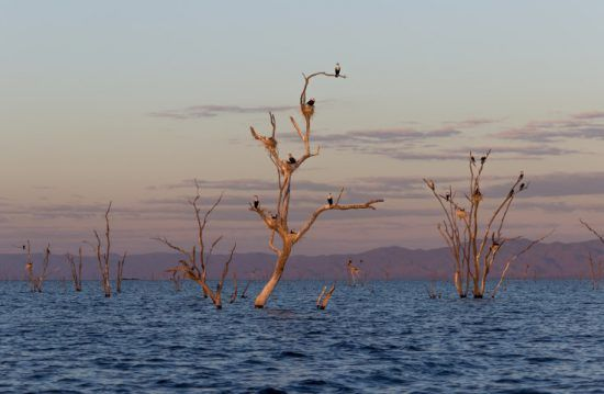 Vögel nisten auf toten Bäumen, die aus dem Lake Kariba ragen