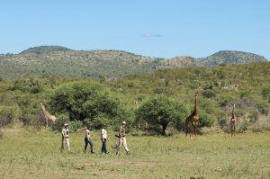 Os safáris a pé são uma forma maravilhosa de contemplar a vida selvagem da região