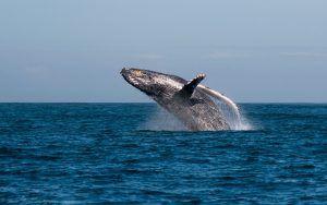 Una ballena saltando fuera del agua en Sudáfrica