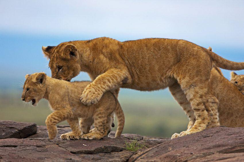 opiniones hembra grande cerca de león