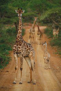 Una jirafa adulta junto a una cría de jirafa